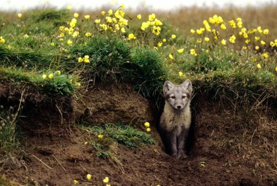 Arctic Fox at Entrance of its Den in Alaska's Arctic National Wildlife Refuge