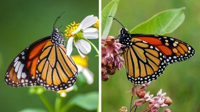 Common Tiger Butterfly and Monarch Butterfly