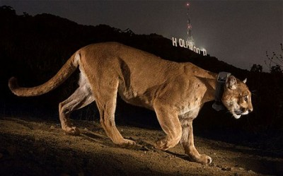 Cougar Hollywood Sign