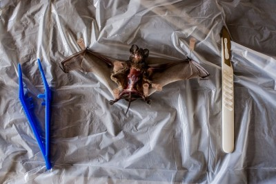 Dissected Angolan Free-Tailed Bat