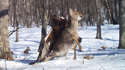 Golden Eagle vs. Deer