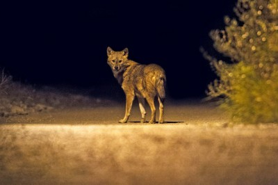 Golden Jackal in Croatia