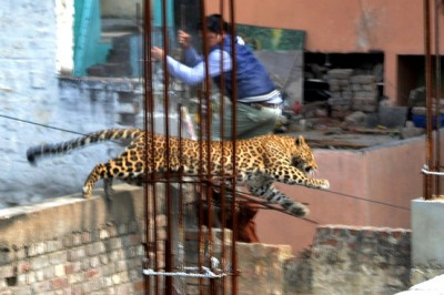 Leopard Jumping Between Buildings in Meerut, Uttar Pradesh, India