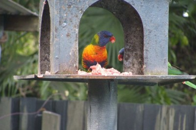 Rainbow Lorikeets Eating Meat