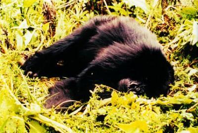 Sleeping Figure 1B Gorilla